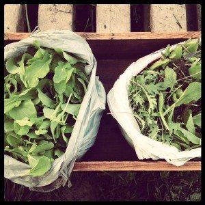 Organic Salad Mix Indiegogo
