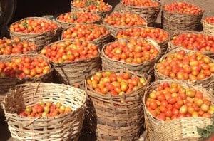 Tomato Jos 1